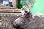 藍貓為求愛,被困33樓房檐,它心儀的小母貓卻在隔窗看熱鬧