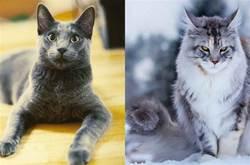 公認「最帥」的5種貓咪,緬因貓上榜,有你家的麼