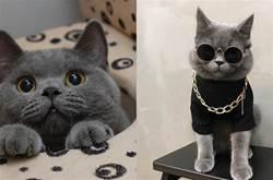 「英短貓」有5個表現,說明被你養熟了,它很愛你